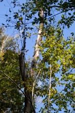 Scaled oak snag, 2013.