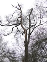 Extensive Scaling High on a Living Oak, Louisiana, March 2012