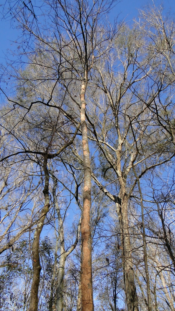 Presumed Pileated Woodpecker Scaling on Snag, East-Central Louisiana, 2011