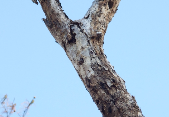 Red-headed Woodpecker peering out of cavity