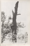 Mack's Bayou Ivorybill nest tree. Courtesy of the Division of Rare and Manuscript Collections, Cornell University Library