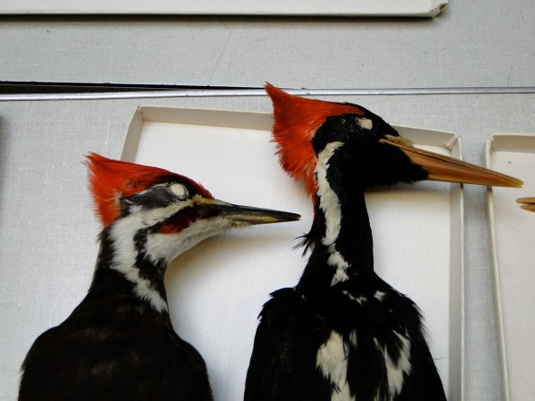 Ivory-billed and Pileated specimens: mote the dramatic differences in neck length and appearance and body shape around the shoulders.
