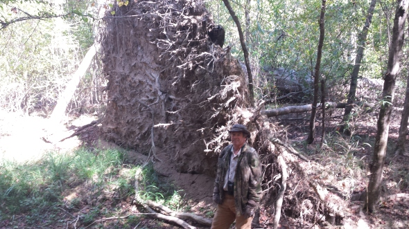 Bob Ford standing next to ~20' root disc of downed water oak