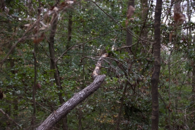 Additional scaling on downed sweet gum limb, Dec. 2016