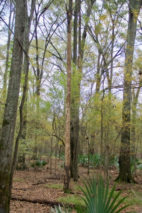 Long dead snag with bark removed, presumably by Pileated Woodpeckers, Tensas NWR 2013