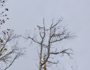Patchy high branch scaling, Tensas NWR 2013.