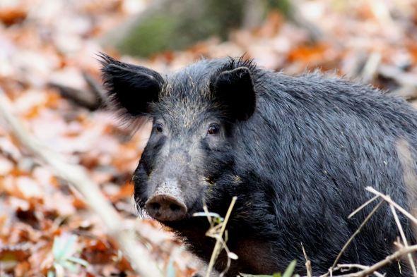 003 Feral Hog,a