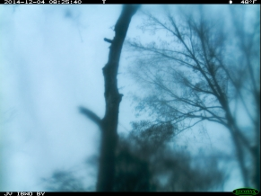 Composite showing Red-headed Woodpecker at Right and Possible Ivory-billed Woodpecker at Upper Left. Also note apparent long wing behind the snag, directly above the confirmed RHWO. This feature is absent in other frames and went unnoticed until this review.